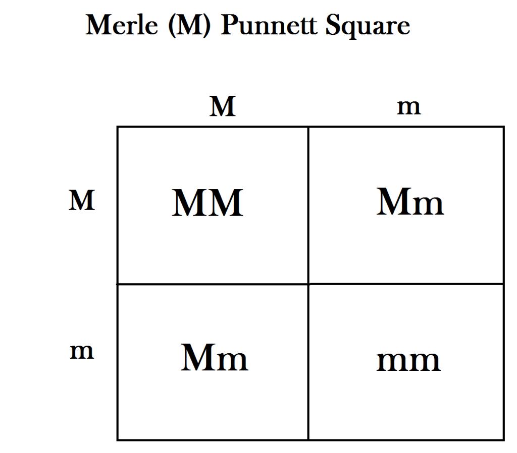 A basic punnett square of the merle gene after breeding two heterozygous dogs.